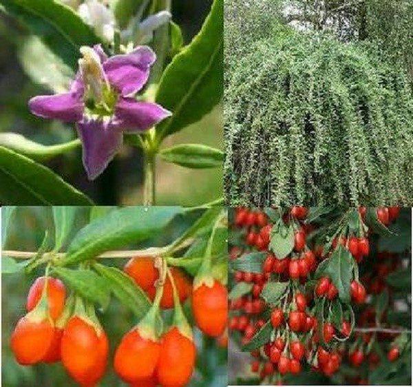 Цветут и плодоносят ягоды годжи весьма эффектно, тем самым обретая декоративную ценность
