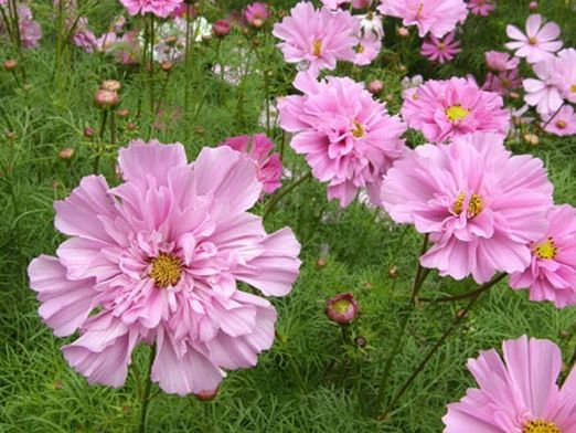 """Цветы космеи сорта """"дабл клик"""", напоминающие цветок садовой розы"""