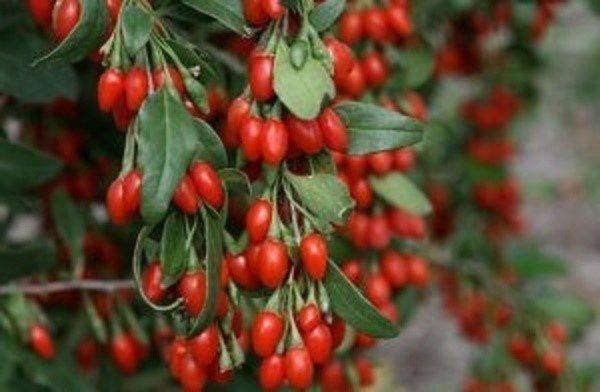 Размножать ягоды годжи можно, как в виде семян, так и посредством отделения от материнского куста одеревеневших саженцев