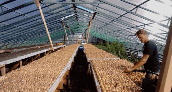Большая теплица для выращивания лука