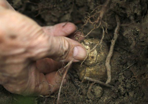 Трюфель является подземным грибом