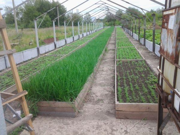 Строящаяся теплица для выращивания лука зимой