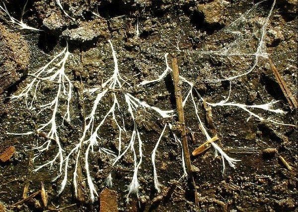 Вы можете самостоятельно собрать дикорастущий мицелий в лесу или на поле, если найдете шампиньоны