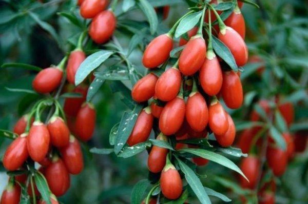 Обычно у данного растения в пищу идут только плоды, однако на деле питательную и лекарственную ценность имеют все сегменты данного растения