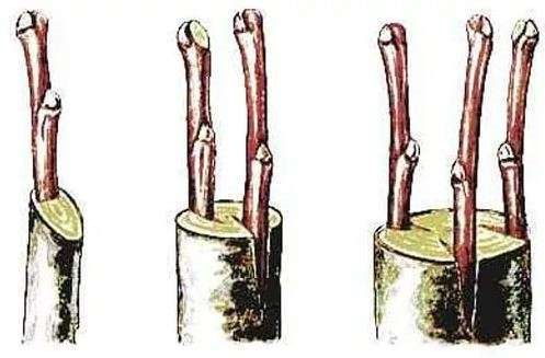 Метод прививки в расщеп