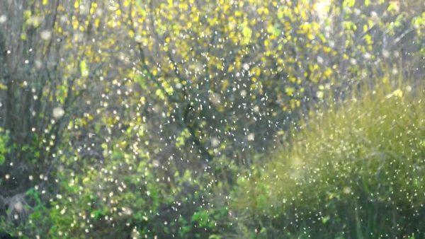 На месте произрастания трюфелей кружат желтые рои трюфельной мушки