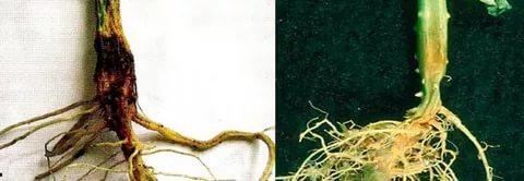 Излишне обильный полив может привести к загниванию корней
