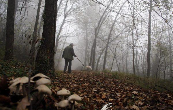 Поиск грибов осуществляется при помощи специально обученных животных