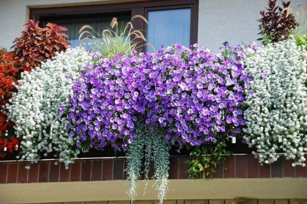 Устранение цветков до появления плодов продлевает цветение