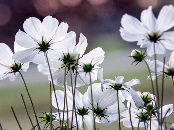 Белоснежные цветы космеи
