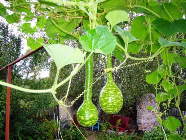 Большие листья лагенарии