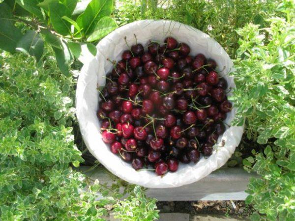 Для хранения выбирают только плотные ягоды.