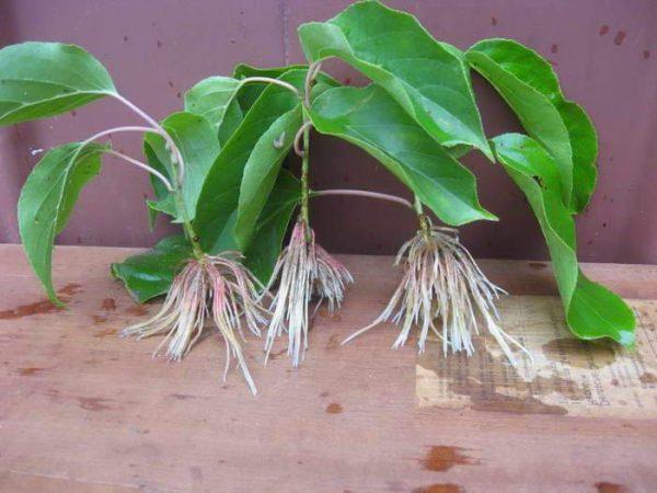 Для посадки нужно выбирать здоровые, крепкие молодые растения