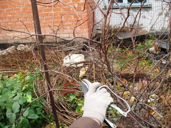 Для стимуляции роста и развития лианы актинидии коломикты нужно регулярно обрезать