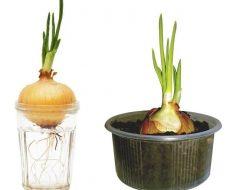 Два самых популярных способа выращивания лука в домашних условиях