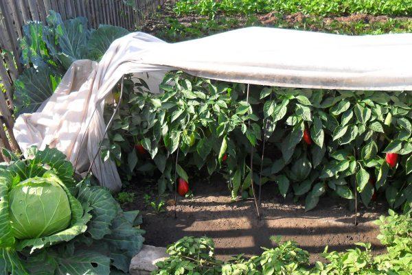Если лето холодное, перцам понадобится укрытие
