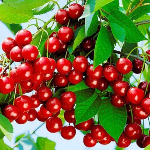 Одно деревце «Молодежной» дает от 10 кг ягод.