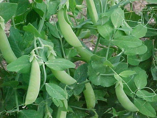 Остатки выращенного гороха могут послужить семенами на будущий сезон