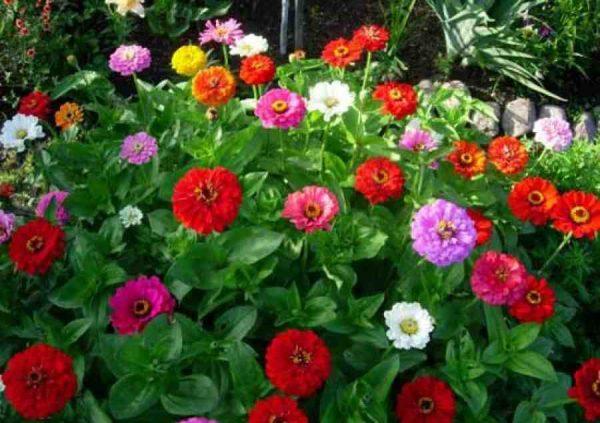 Гостью из теплой Южной Америки цинию многие садоводы называют майором