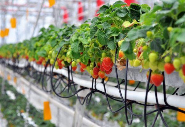 Клубника на гидропонике не болеет и дает хороший урожай
