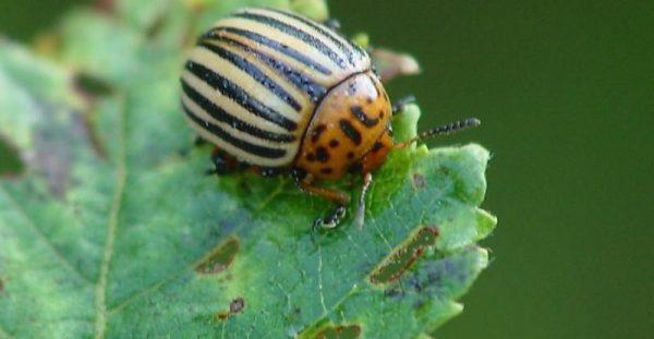 Колорадский жук опасен и для томатов