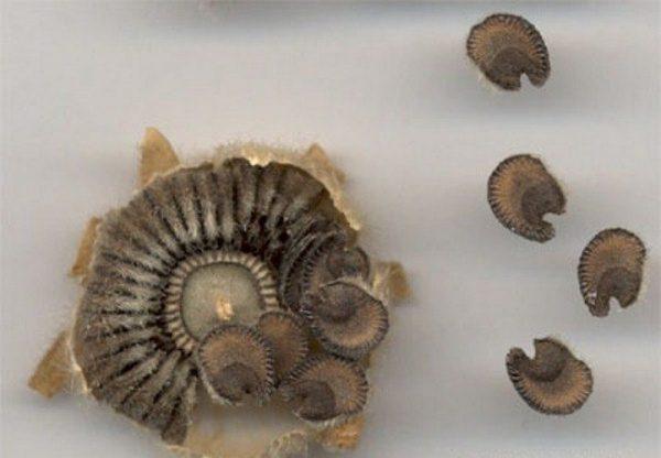 Коробочка мальвы с семенами