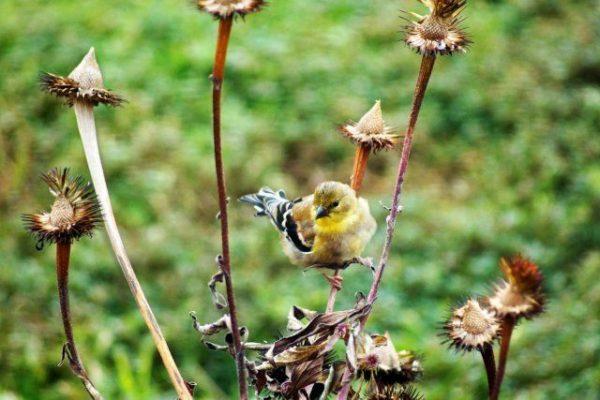 Коробочки с семенами лучше удалять, чтобы избежать самосева