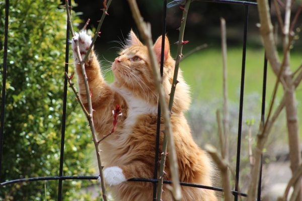 Кошки любят актинидию