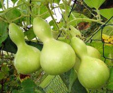 Лагенария - выращивание из семян