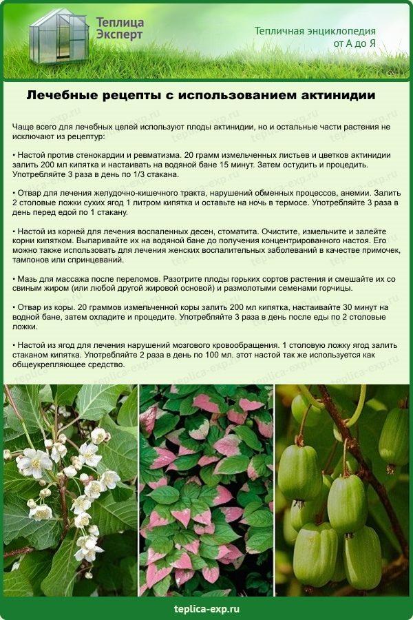 Лечебные рецепты с использованием актинидии