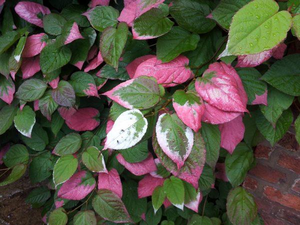 Листья актинидии коломикты имеют оригинальную, постоянную меняющуюся окраску
