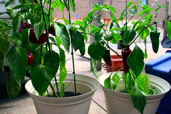 Лучше всего сладкий перец растет на подоконниках с южной стороны