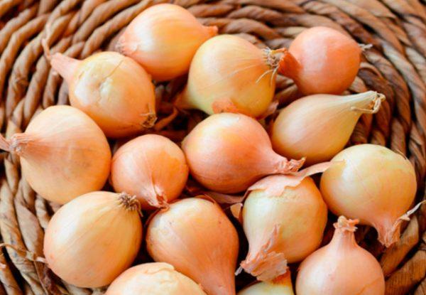 Луковицы для проращивания должны быть плотными, крепкими, без прогнивших участков и изъянов