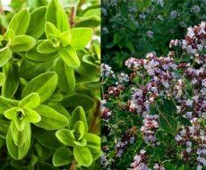Майоран листовой и цветочный
