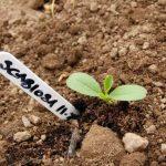 Молодой росток скабиозы