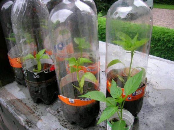 Можно создать мини-парники из пластиковых бутылок