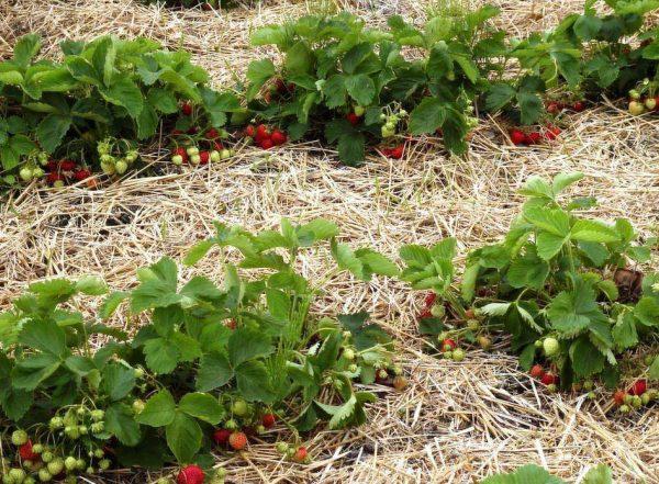 Мульчирование клубники сухой травой