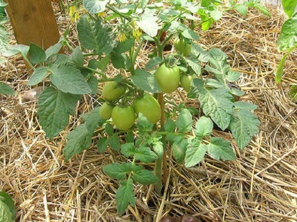 Мульчирование томатов соломой