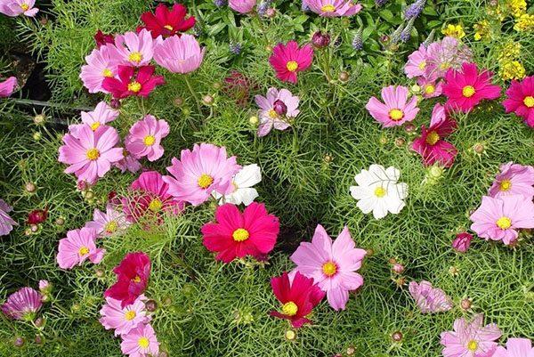 На одном кусте космеи могут появляться цветы разных оттенков