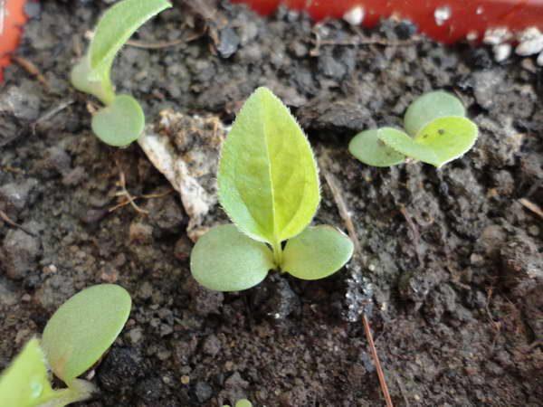 На садовый участок рассаду эхинацеи переносят после наступления стабильного тепла