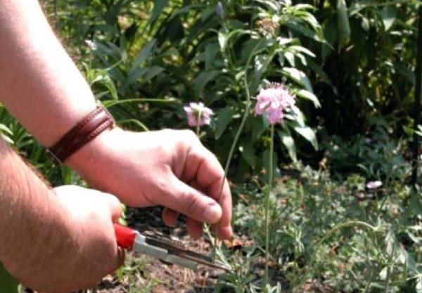 Обрезка завядших соцветий стимулирует рост новых