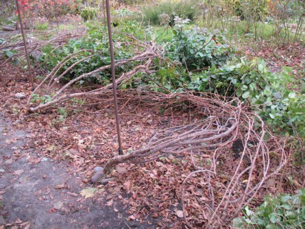 Осенью актинидию снимают с опоры для дальнейшего укрытия на зиму