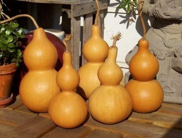 Отобранная для семян лагенария