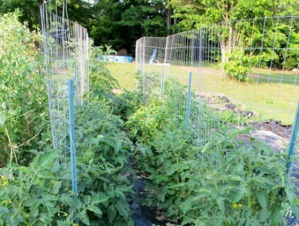 Подвязка томатов к решетке