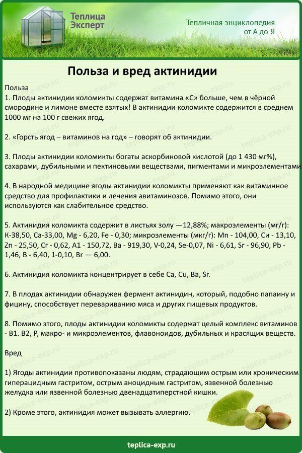 Польза и вред актинидии