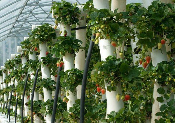 Посадка кустов в пластиковые трубы позволяет сэкономить полезную площадь