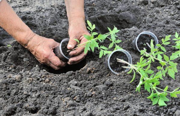 Посадка рассады помидоров в открытый грунт