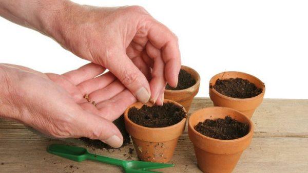 Посадка семян мирабилиса