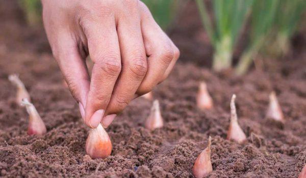 Правильная посадка - основа хорошего урожая