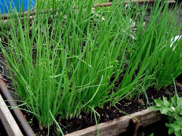 Правильно посадив лук в теплицу, через две недели можно пожинать урожай